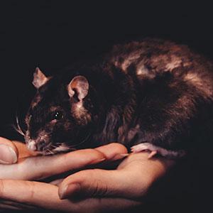Rat on human hand