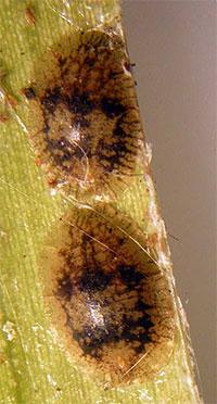 Scale Insect Fauna of Malta