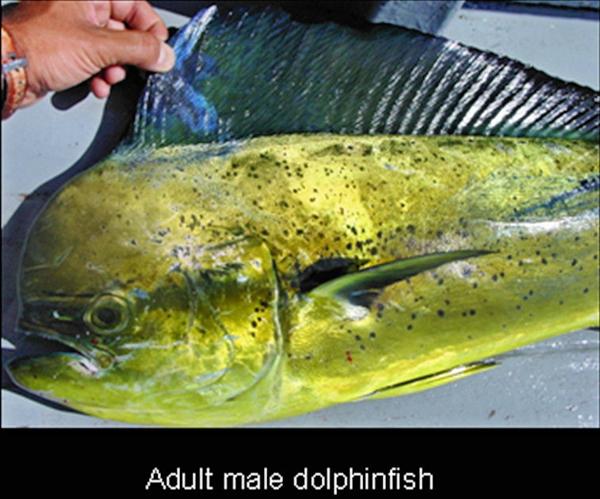 Dolphinfish - Lampuka