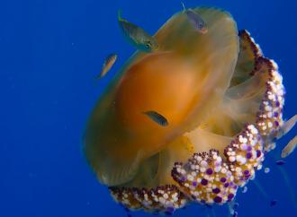 fish jelly
