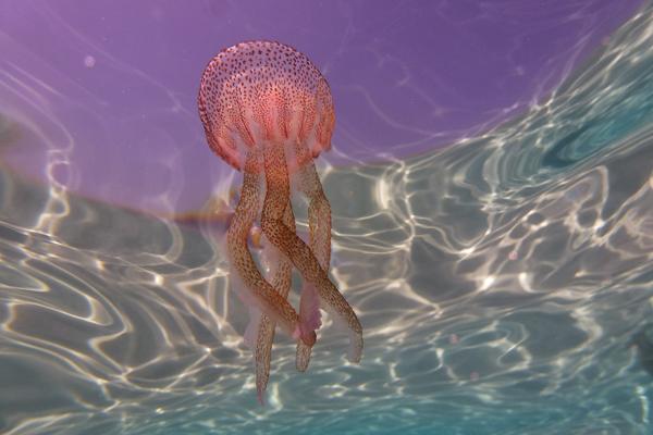 Socio-economic Impact of Jellyfish Blooms