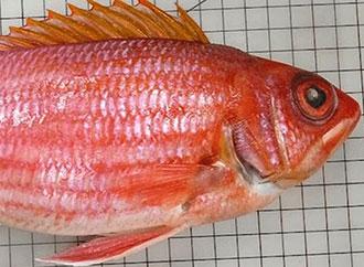 longjaw squirrelfish (Holocentrus adscensionis)